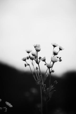 黑白花朵图片