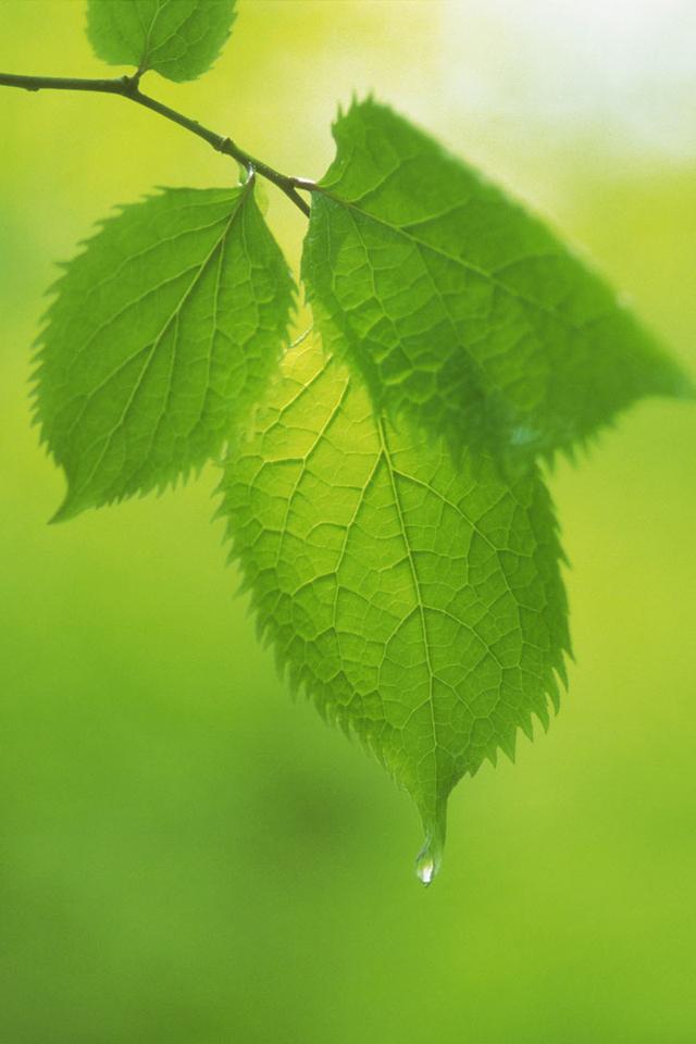 绿色叶子安卓手机壁纸下载-安卓网