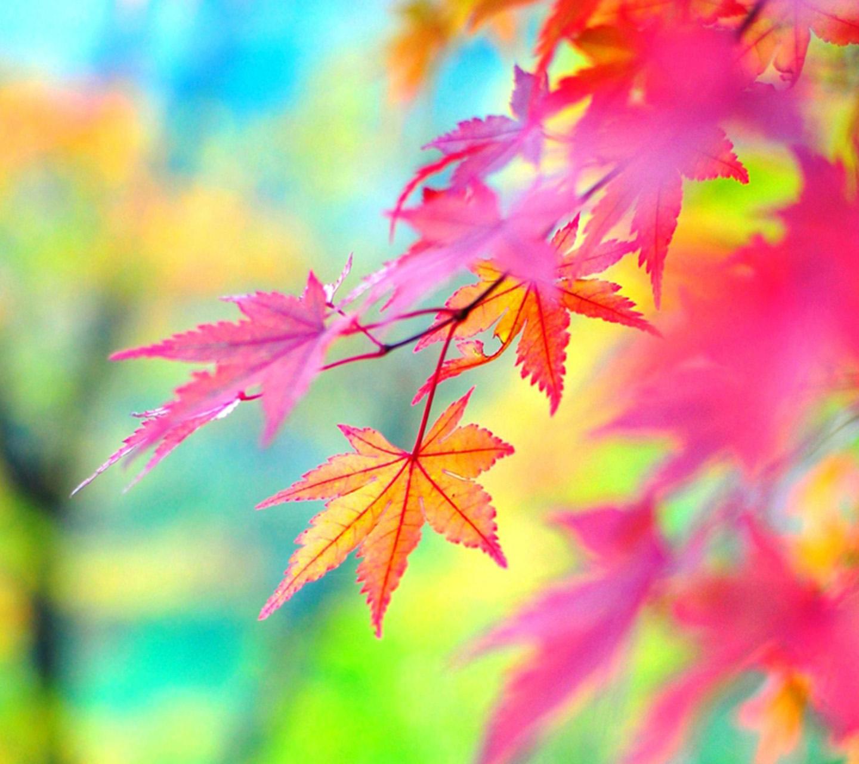 壁纸枫叶红枫花树桌面1440_1280图片