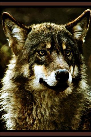 霸气野狼高清壁纸_提供霸气野狼高清壁纸v1.0苹果游戏图片