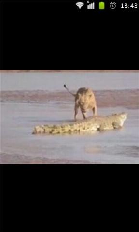 三只狮子围攻鳄鱼图片